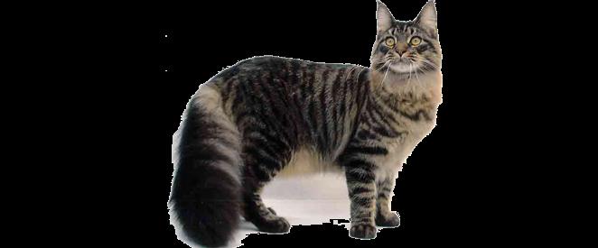 .Várias PNG'S.: Gatos Png
