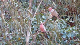 Ptaki w Australii