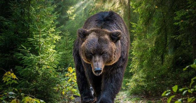 Kisgyermekre támadt egy medve Erdélyben – nagyon csúnyán összekarmolta