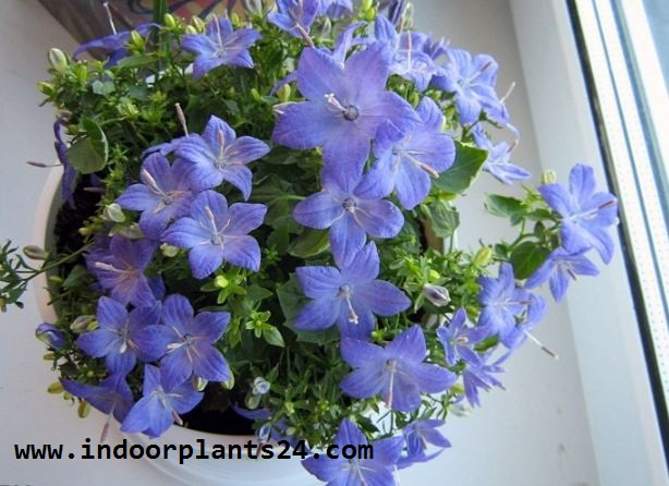 Campanulaceae plant