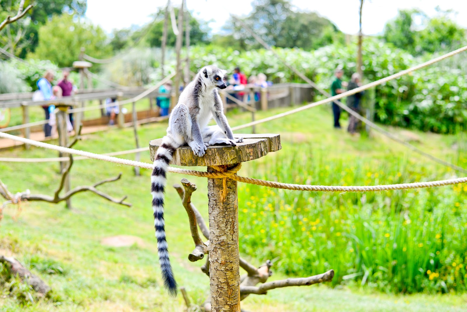 lemurs, whipsnade zoo