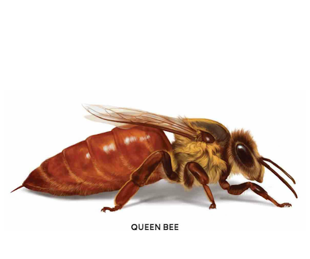 How Long Do Honey Bees Live? The Bee Lifespan!
