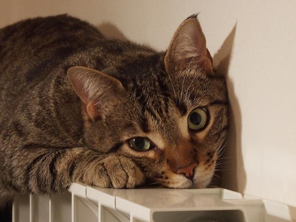 gatto-termosifone-radiatore-calore-nicchia