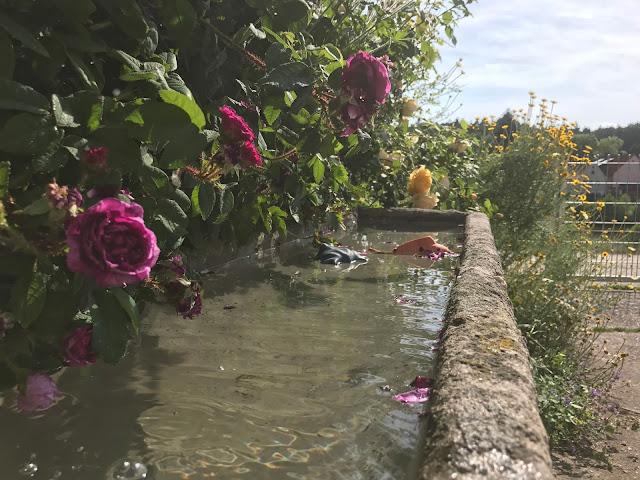 """""""Dorfbrunnen"""" mit Moosrose am Eingang zum Grundstück  (c) by Joachim Wenk"""