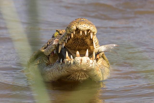 Cocodrilo comiendo en el Kruger, Sudáfrica
