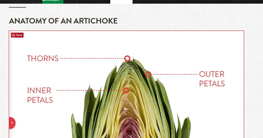 Botanical Accuracy Anatomy Of Artichoke Heads