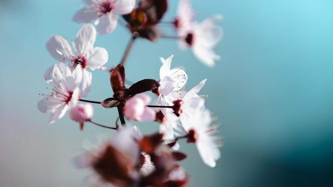 Flores Brancas Da Primavera