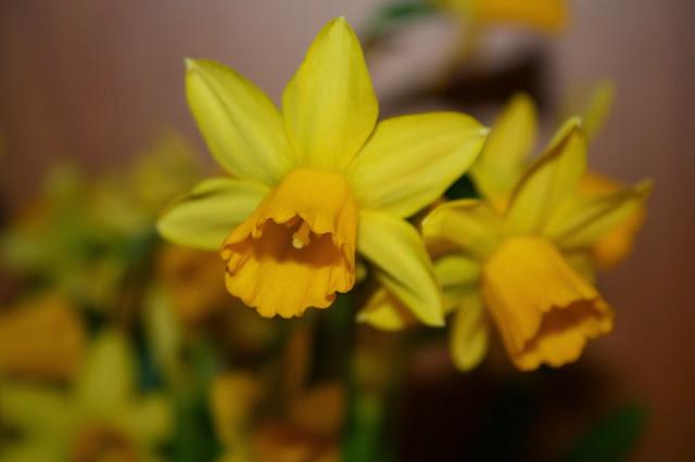 Påskelilje (narciss)