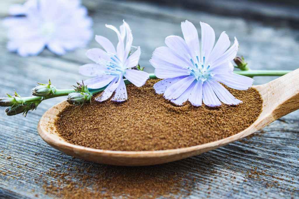 cikorija-ljekovito_bilje-zamjena_za_kafu-kafa-cvijet