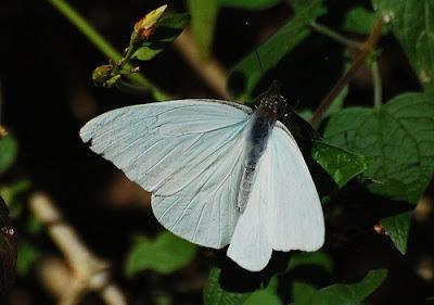 La Mariposa de la Col