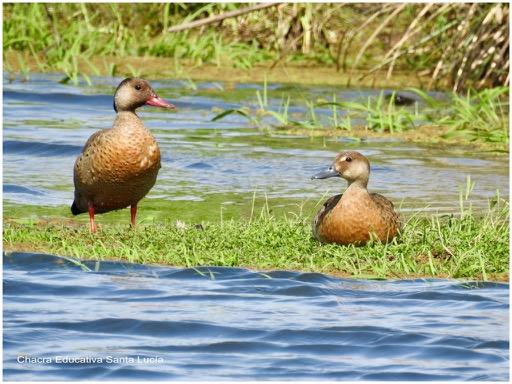 Pareja de patos en el tajamar - Chacra Educativa Santa Lucía