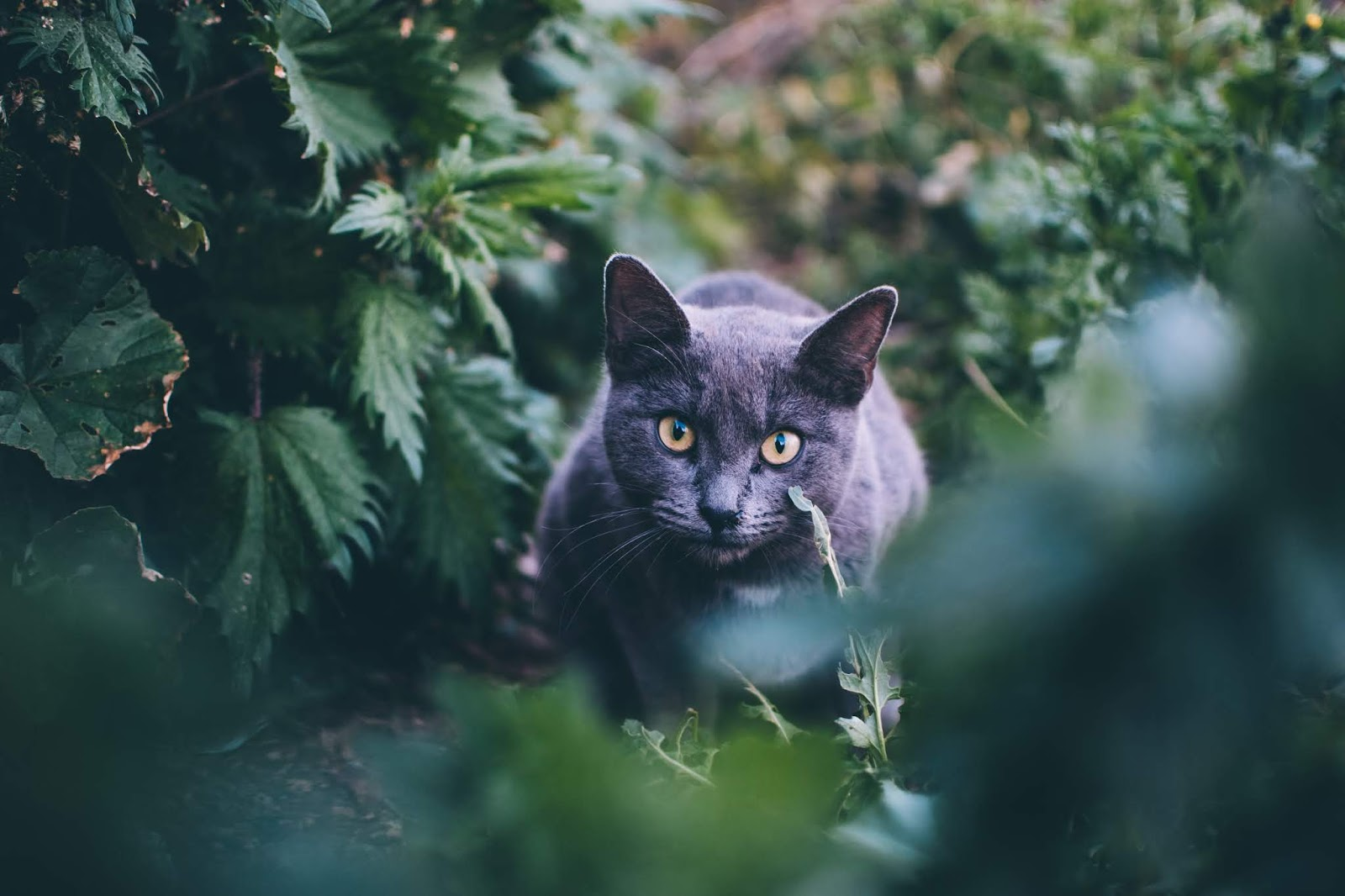 Grey short cat in the bushes,cat images