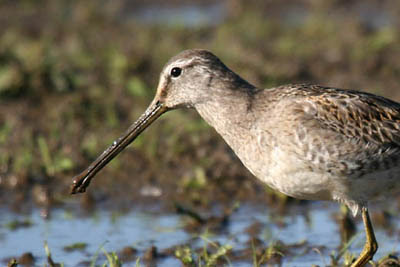 Photo of Long-billed Dowitcher