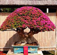 Cara membuat bonsai bunga bugenvil dengan mudah