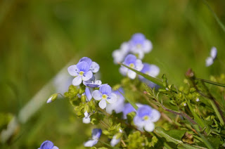 Blue Speedwell wildflowers Tawnylust Lodge