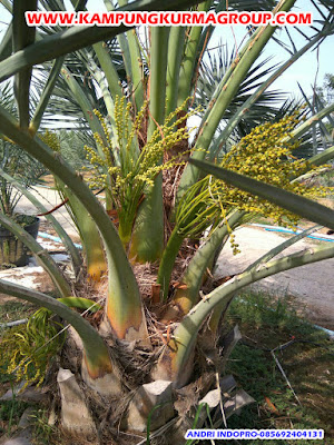 pohon-kurma-perkebunan-kurma-thailand-kampung-kurma