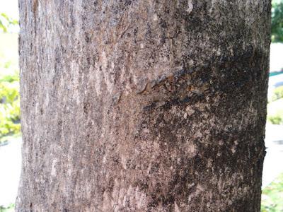 Handroanthus impetiginosus tronco