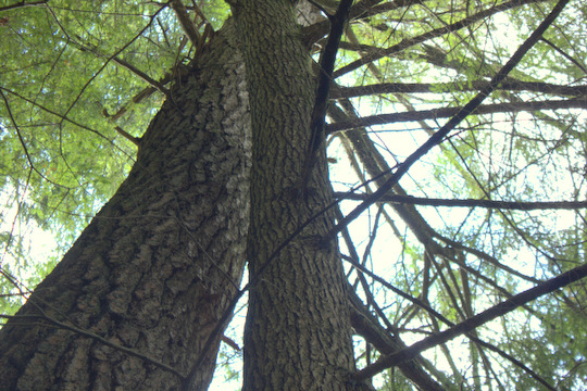 The hemlock and pine trees grow tall in Cumberland Mountain State Park