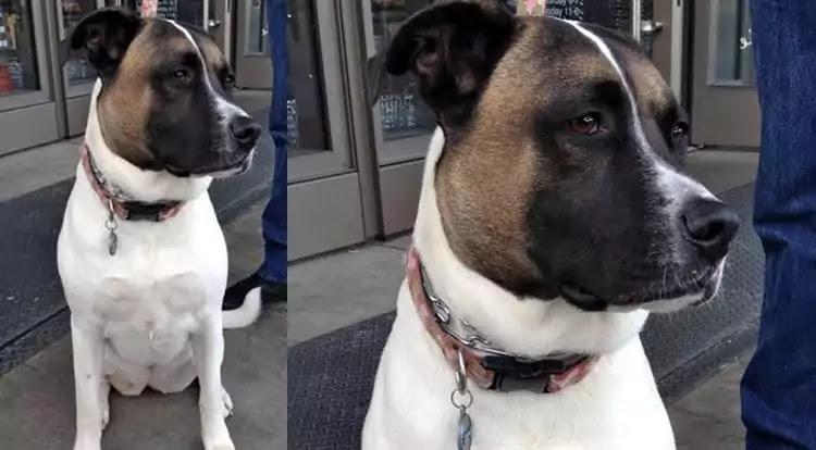 Akita Pit Dog Breed