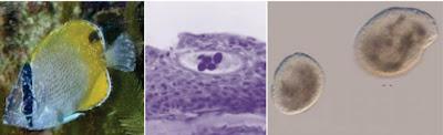 Penyakit Protozoa : Akibat Infeksi Cryptocaryon sp
