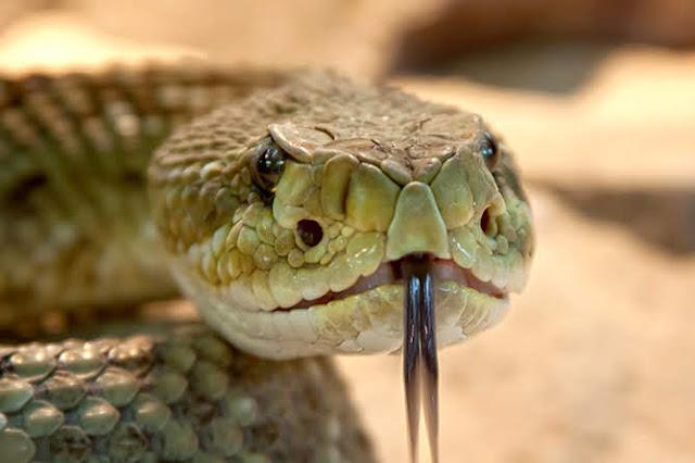 Nombran serpiente en honor al antiguo reino de Urartu