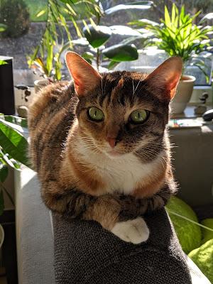 Katze europäisch Kurzhaar
