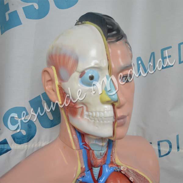 toko phantom anatomi organ tubuh manusia
