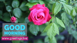 Pink-Rose-Flower-Good-Morning-blue-Text
