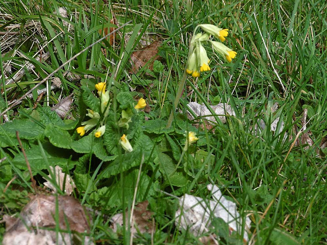 Cowslip Primula veris. February.  Indre et Loire, France. Photographed by Susan Walter. Tour the Loire Valley with a classic car and a private guide.