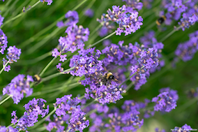 www.lavenderinspiration.com