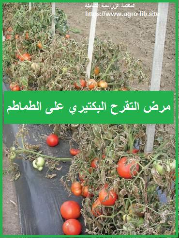 مرض التقرح البكتيري على الطماطم Bacterial Canker