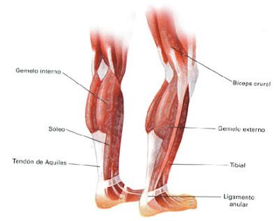 Resultado de imagen para pantorrillas anatomia