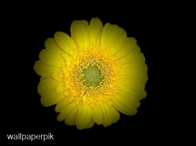 beautiful flower wallpapers sunflower wallpapers cool flower wallpapers
