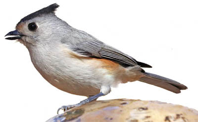 Photo of Black-crested Titmouse