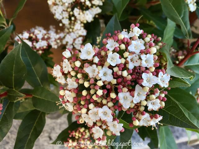 Blüten des Mittelmeer Schneeballs