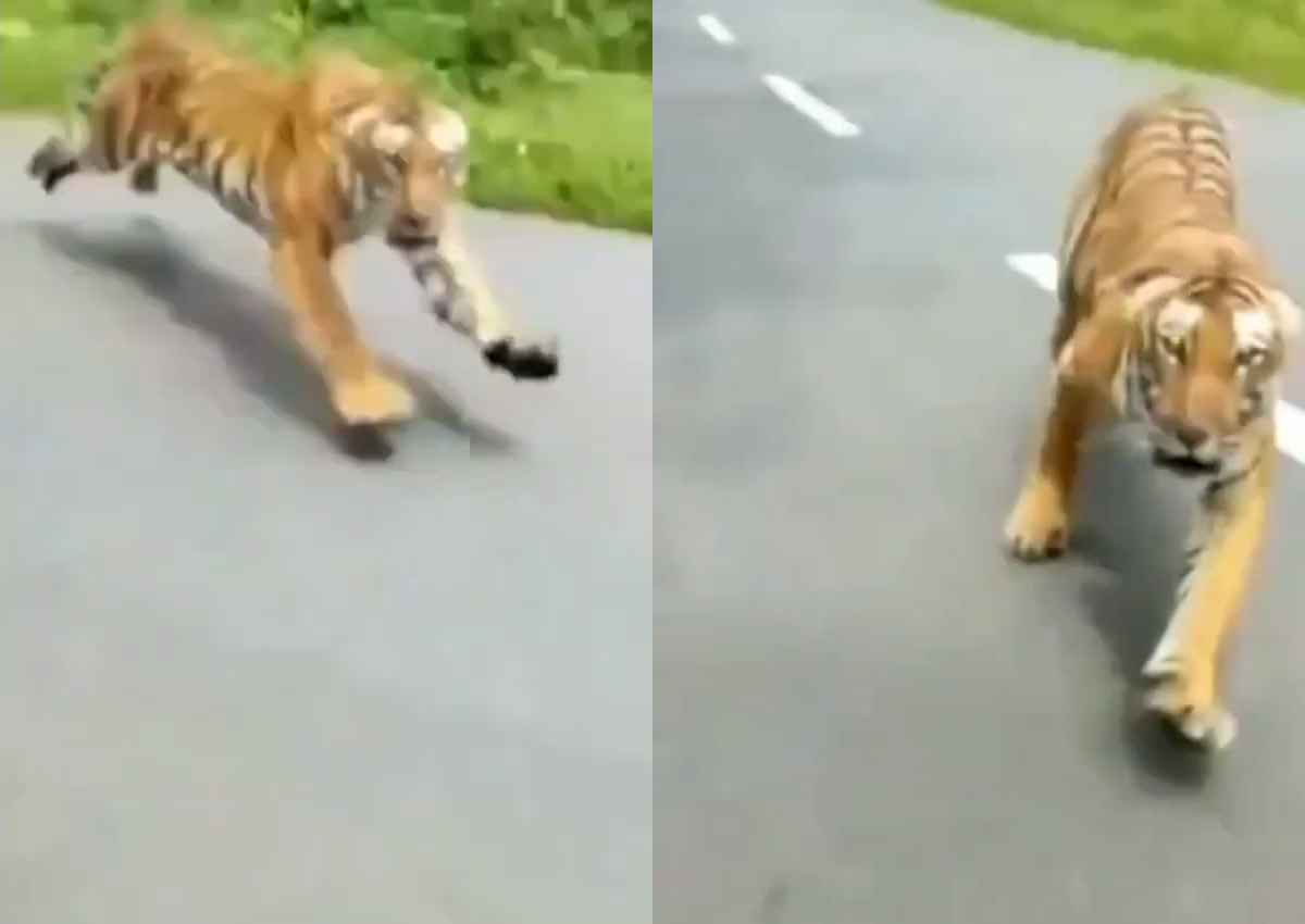 A tiger dashed out of the forest and chased after two men riding a motorcycle on the road.