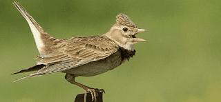 Burung Branjangan - Kenali Karakter Burung Branjangan Dari Ciri-Cirinya Sebelum Membawa Ke-Gantangan