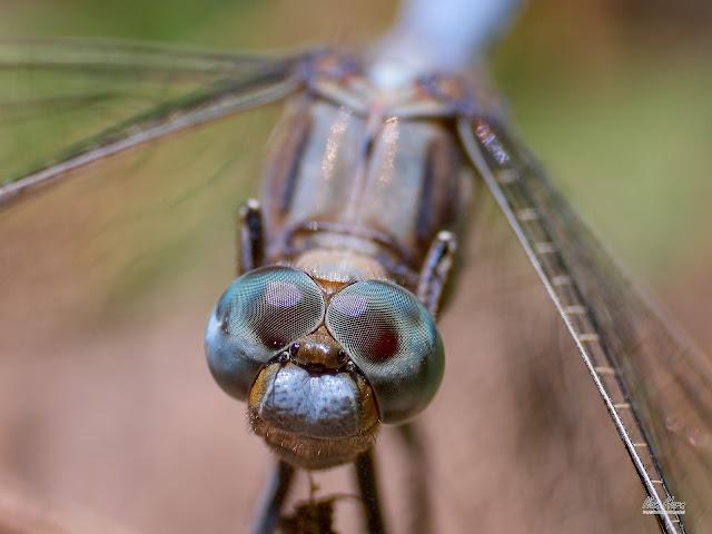 Blue Dragonfly Eyes