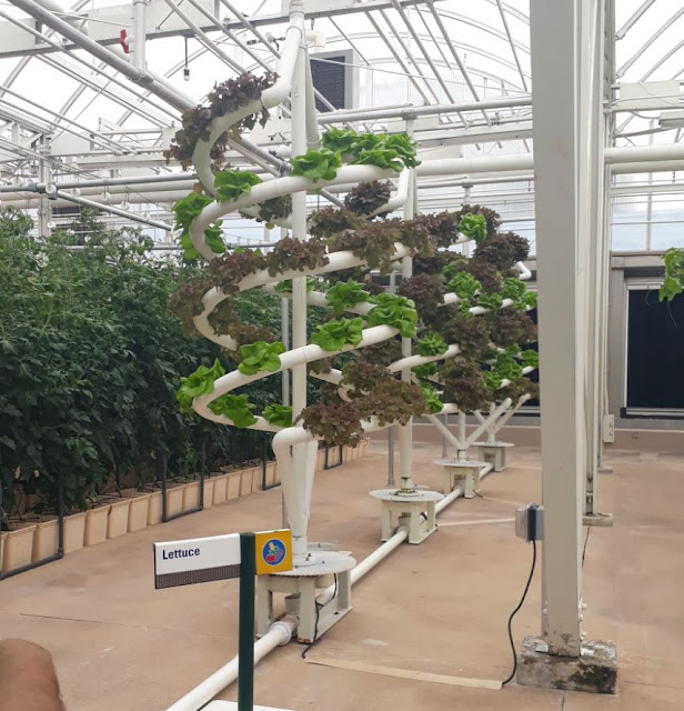 Lettuce in Glasshouse EPCOT