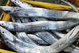 Mengenal Ikan Layur