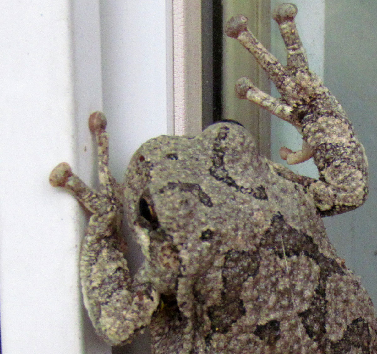 The Agatelady: Adventures And Events: Tree Frogs