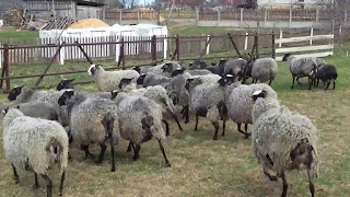 Romanov Sheep Disadvantages, Advantages, Temperament, Price