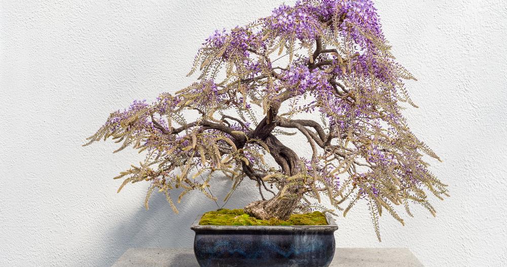 Panduan Perawatan Untuk Pohon Bonsai Wisteria Bonsai Klasik