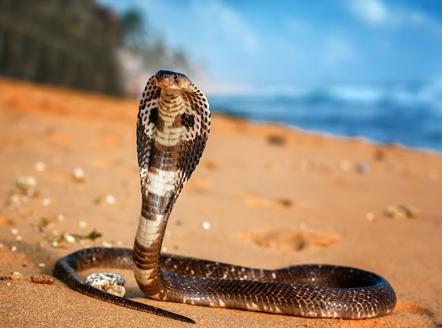 Ular king cobra