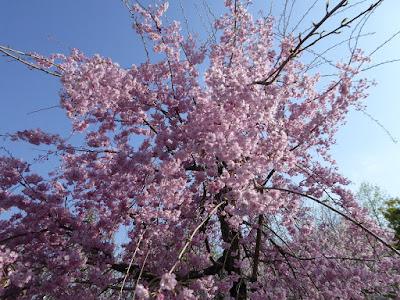 寝屋川公園 やすらぎ広場 枝垂桜