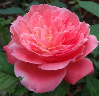 hình ảnh hoa hồng màu cam đà lạt