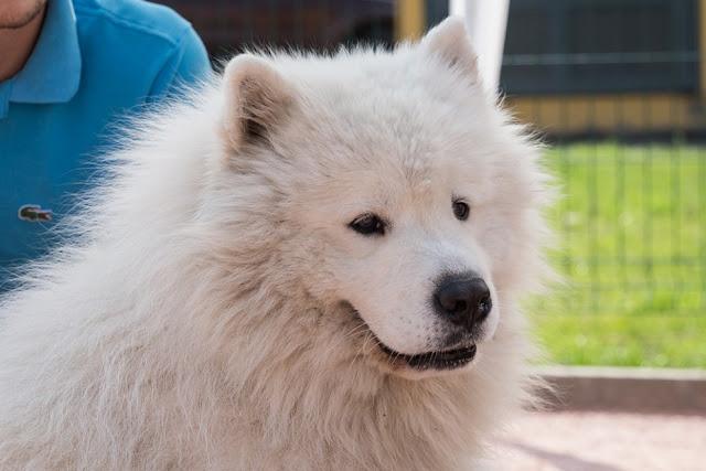 Самоед надоел хозяевам и был продан ими на рынок собачьего мяса