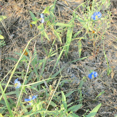 dayflower, Commelina