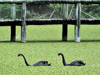 Cisnes Negros em Frente à Ponte - Jardim Botânico de Porto Alegre