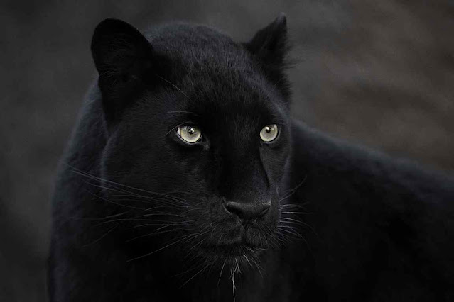 Pantera negra africana, exemplar em cativerio